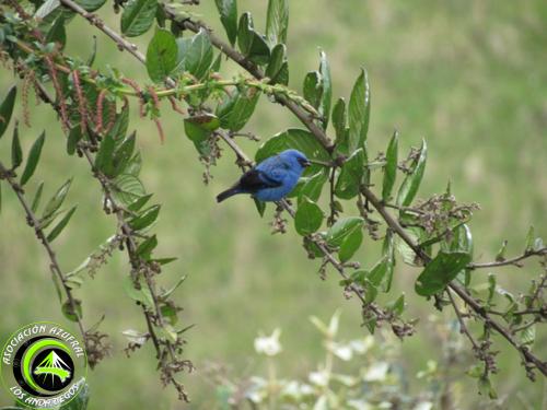 Ruta_1_Tangara Azul